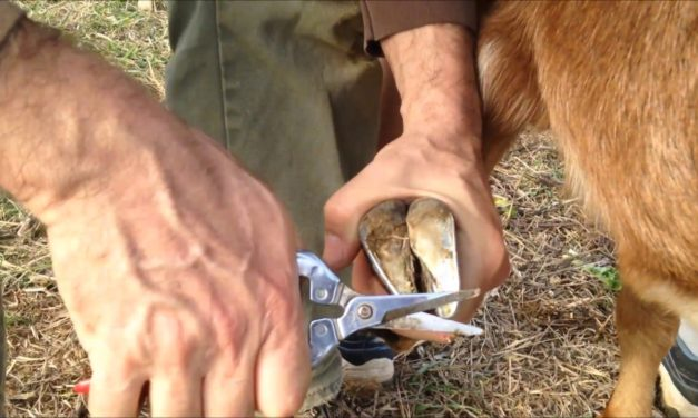How To Trim Goat Hooves