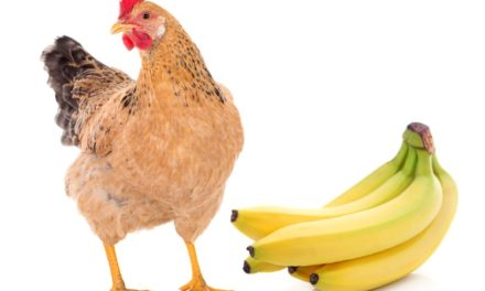 Can Chickens Eat Bananas?