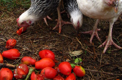 Can Chickens Eat Tomato?