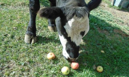 Can Cows Eat Apples?