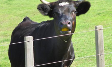 Can Cows Eat Oranges?