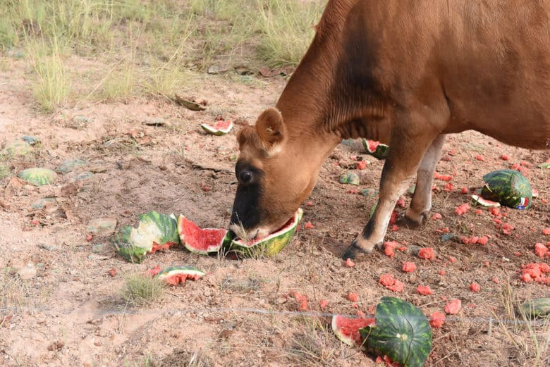 Can Cows Eat Watermelons?