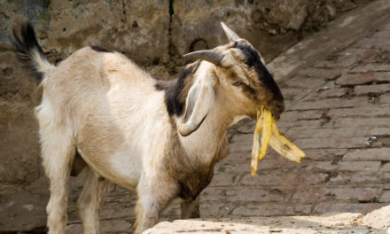 Can Goats Eat Bananas?