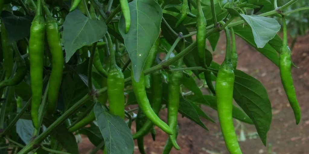 Chilli Farming (Planting, Growing and Harvesting)
