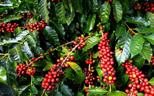 Coffee Farming (Planting, Growing and Harvesting)