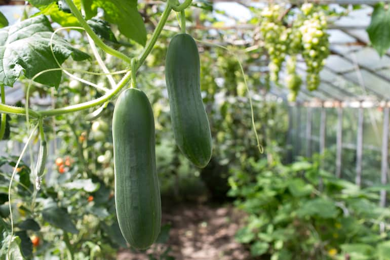 Cucumber Farming (Planting, Growing and Harvesting)