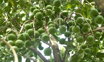 Macadamia Nuts Farming (Planting, Growing and Harvesting)