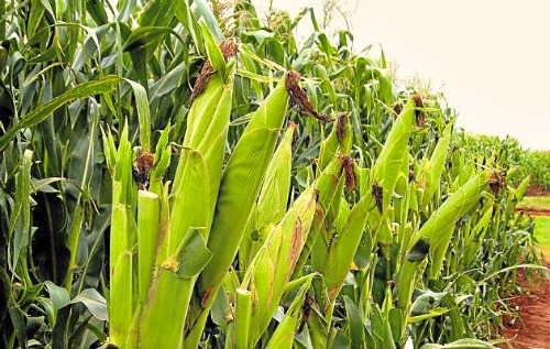 Maize Farming (Planting, Growing and Harvesting)