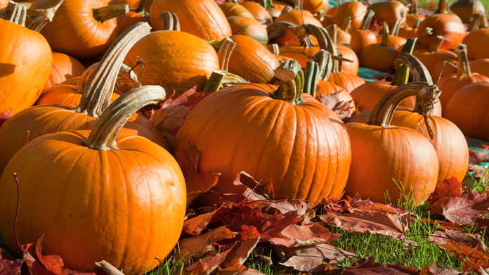 Pumpkin Farming (Planting, Growing and Harvesting)