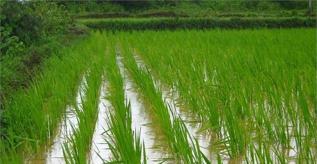 Rice Farming (Planting, Growing and Harvesting)