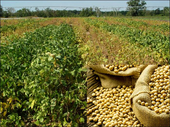 Soya Beans Farming (Planting, Growing and Harvesting)