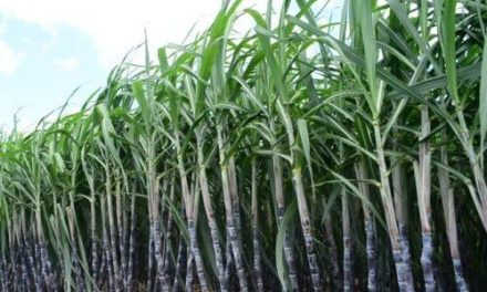 Sugarcane Cultivation (Planting, Growing and Harvesting)