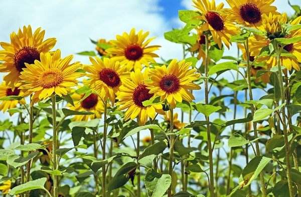 Sunflower Farming (Planting, Growing and Harvesting)