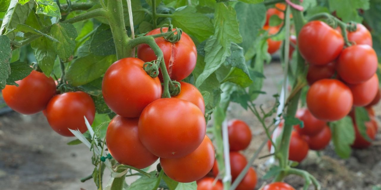 Tomato Farming (Planting, Growing and Harvesting)