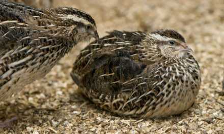 Types Of Quails