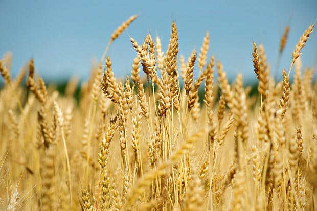 Wheat Farming (Planting, Growing and Harvesting)