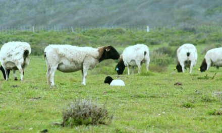 Best Meat Sheep Breeds