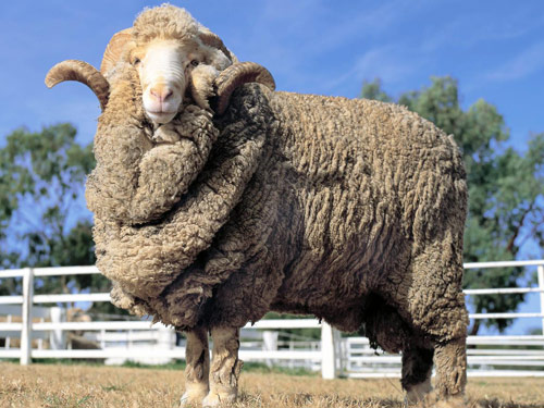 Best Sheep For Wool