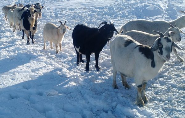 Can Goats Tolerate Cold Weather?