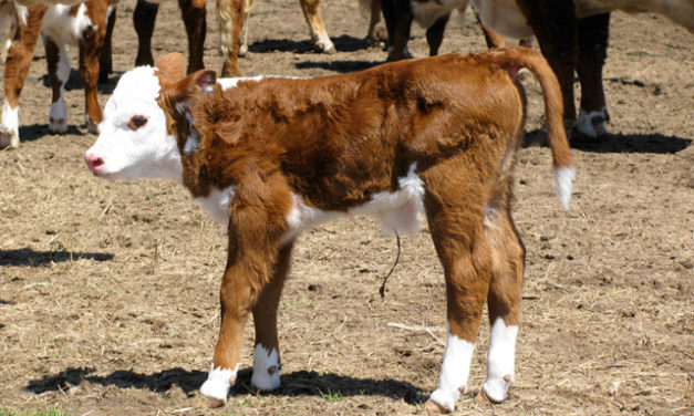 Joint Ill in Calves