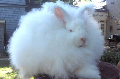 Long Haired Rabbit Breeds
