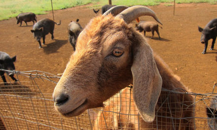 Can Pigs And Goats Live Together?