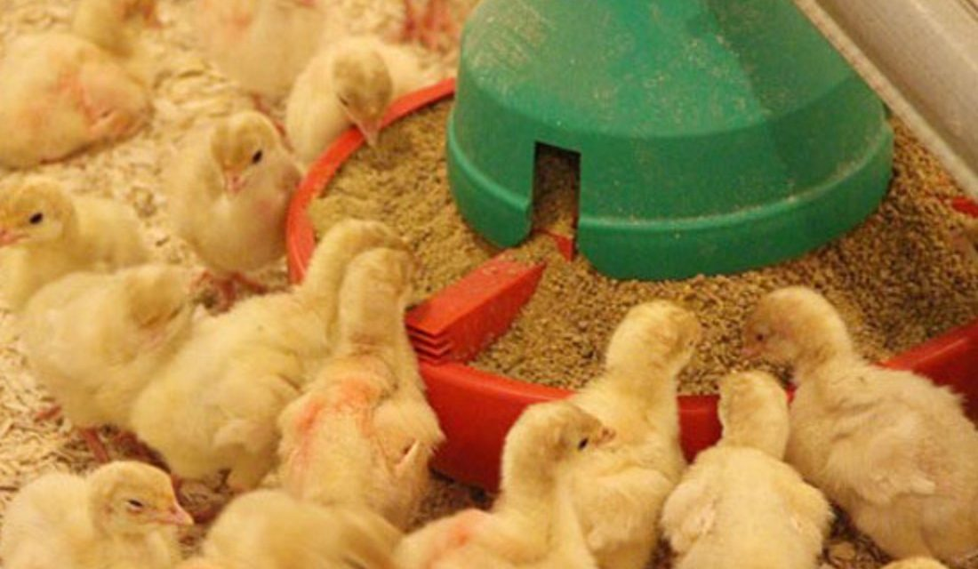 Types of Poultry Feed
