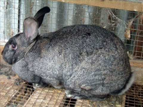 Best Meat Rabbit Breeds