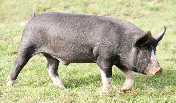 Best Pig Breeds For Meat