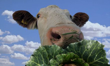 Can Cows Eat Cabbage?