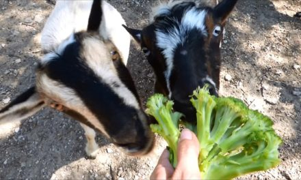 Can Goats Eat Broccoli?