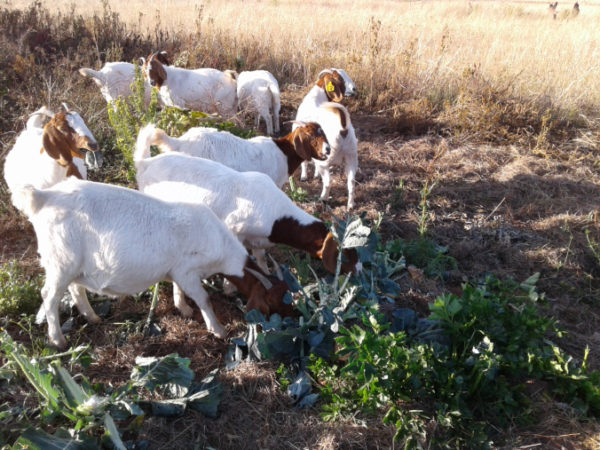 Can Goats Eat Cauliflower?