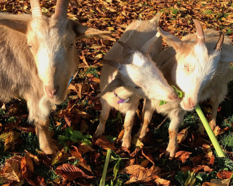 Can Goats Eat Celery?