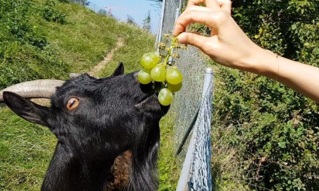 Can Goats Eat Grapes?