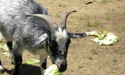 Can Goats Eat Lettuce?
