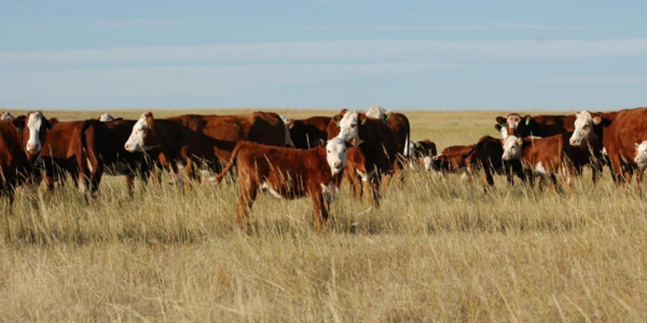 Mob Grazing Cattle