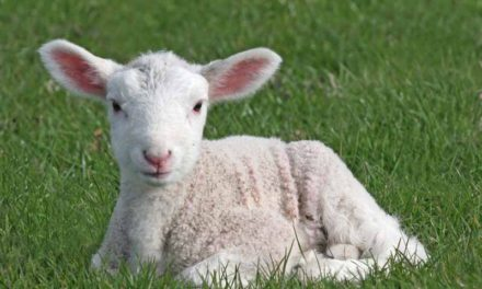 Orphan Lamb Feeding Guide