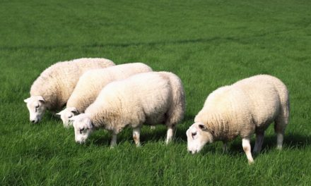 Sheep per Acre in Rotational Grazing