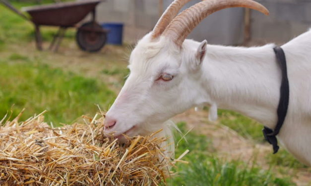 Types of Hay for Goats