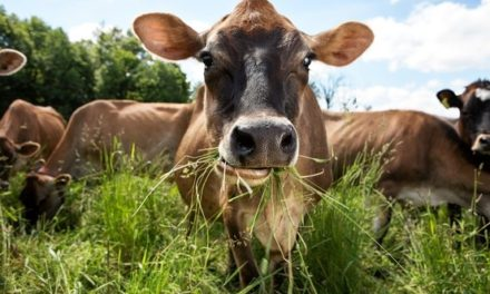 Can Cows Digest Cellulose?