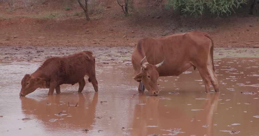 Can Cows Drink Dirty Water?