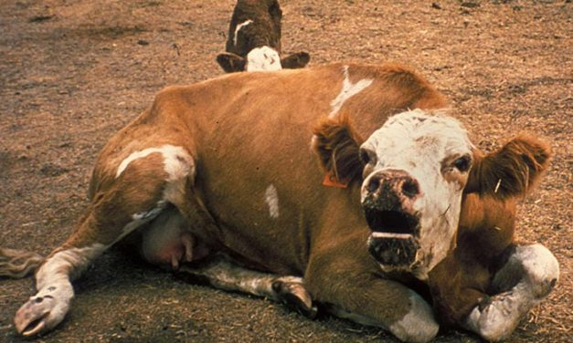 Can Cows Get Rabies?