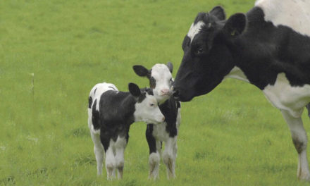 Can Cows Give Birth To Twins?