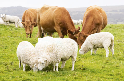Can Cows and Sheep Live Together?