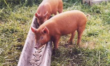 Can Pigs Eat Chicken Feed?