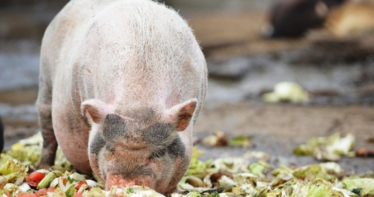 Can Pigs Eat Meat?