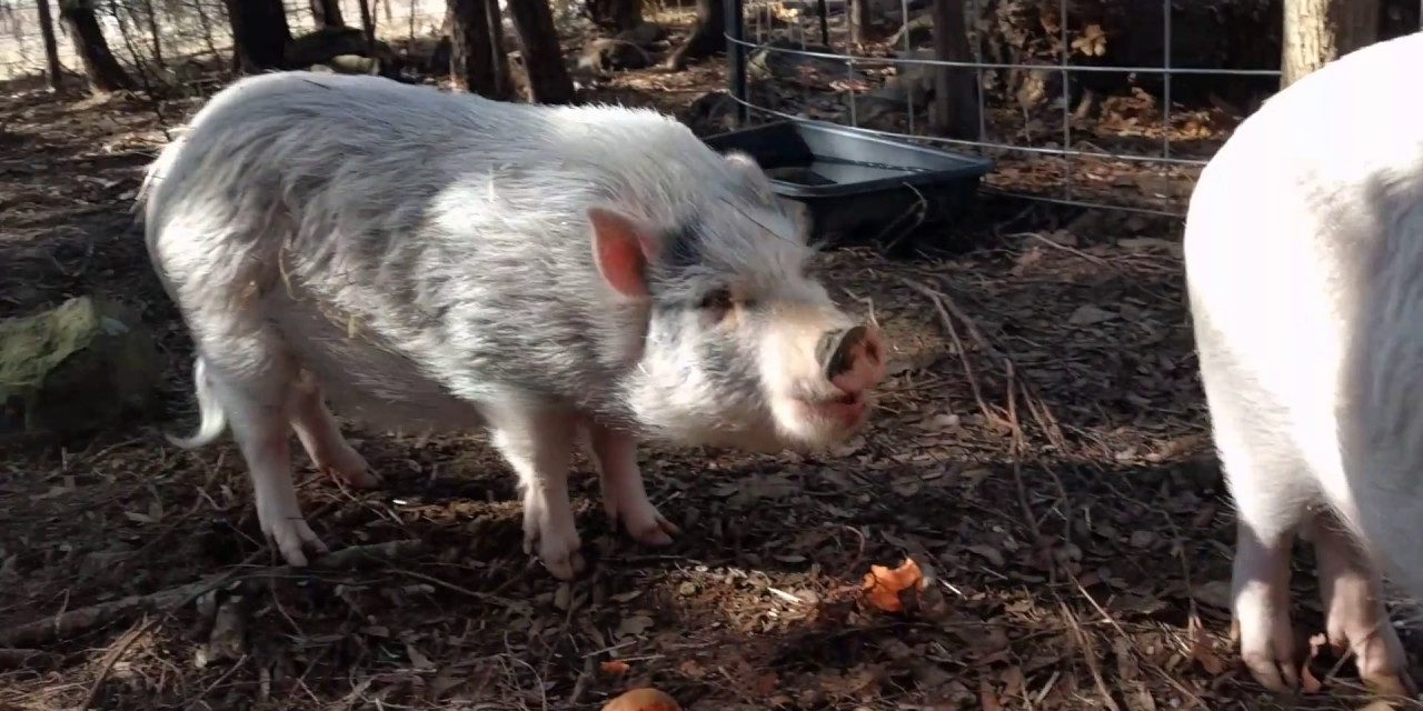 Can Pigs Eat Potatoes?