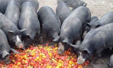 Can Pigs Eat Tomatoes?