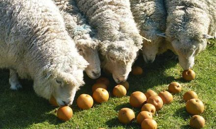Can Sheep Eat Apples?