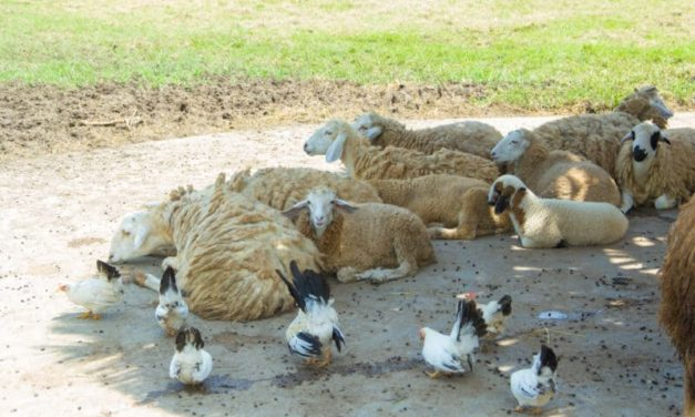Can Sheep and Chickens Live Together?